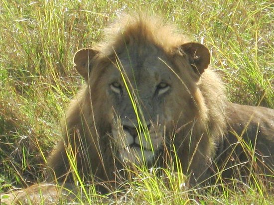 Royal Mara Safari Lodge: Lion