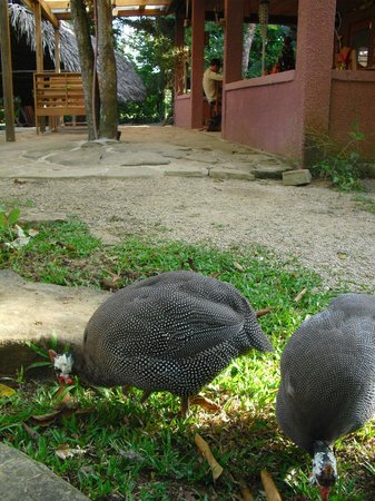 The Farm Inn: The Guineafowl with the restaurant in the background