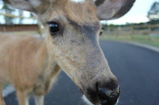 Mt Gardner Inn: Resident Deer