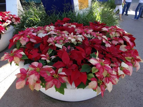 Disney's Pop Century Resort: Christmas poinsettias outside the entrance to the food court and gift shop.