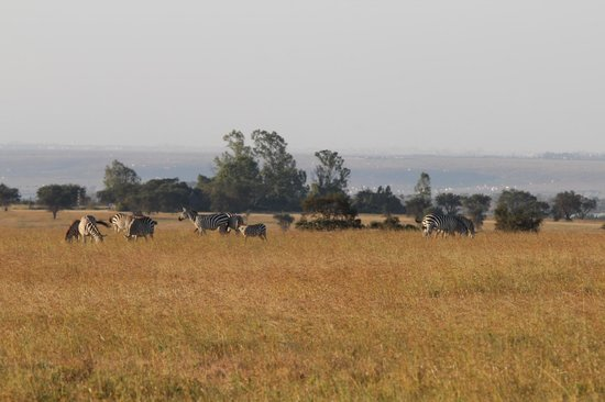 Swara Plains Acacia Camp : 10 minutes outside the Camp - on the ranch