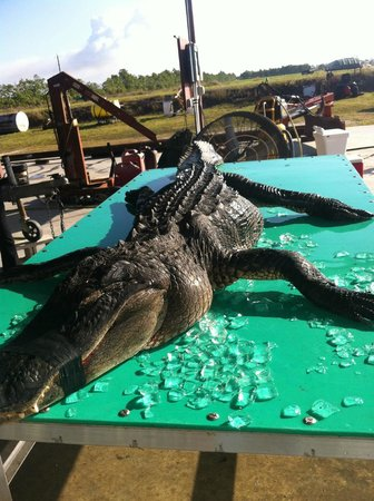 Everglades Adventures: Wish this was mine but it wasn't. A great gator!
