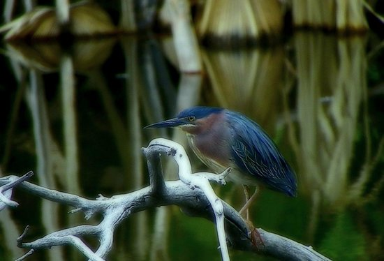 Agua Caliente Park: A Green Heron on the prowl for a meal.