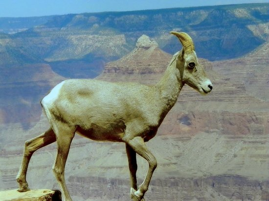 Grand Canyon Railway: Bighorn Ewe walking on the wall on the South Rim.