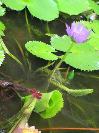ニケ・ヴィラス, 池には蓮が