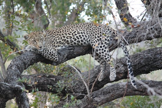 Tanda Tula Safari Camp: Momma Leopard in the tree(after dining on it's kill).