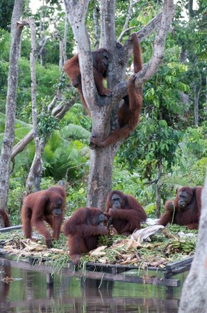 Palangkaraya, Индонезия: Playing on the tree
