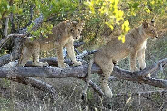 Naledi Game Lodges: Game drive, lion cubs