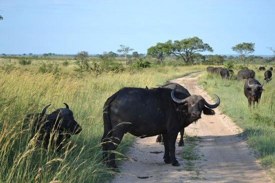 Londolozi Private Game Reserve: Bufali