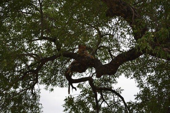 Londolozi Private Game Reserve: Il leopardo e la preda sull'albero