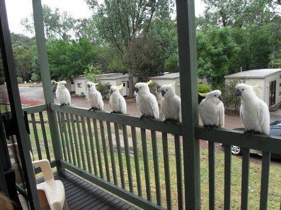 Halls Gap Caravan Park: Cockies on our verandah