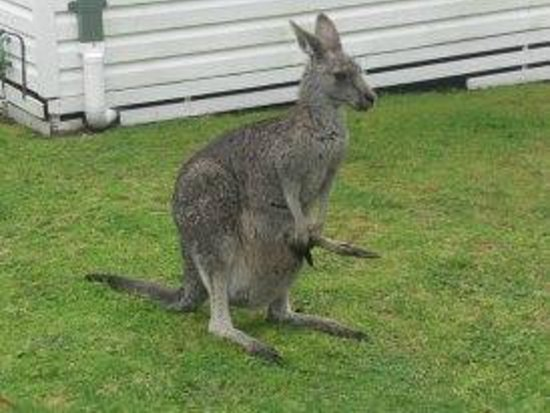 Halls Gap Caravan Park: Kangaroo with a joey in it's pouch