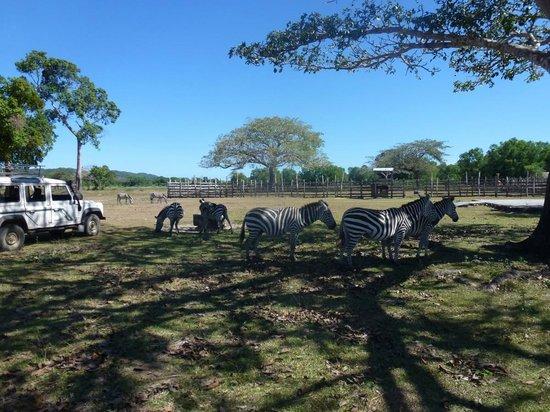 แคชชูโกล์ฟบีช รีสอร์ท: Сафари-парк Калауит - зебры