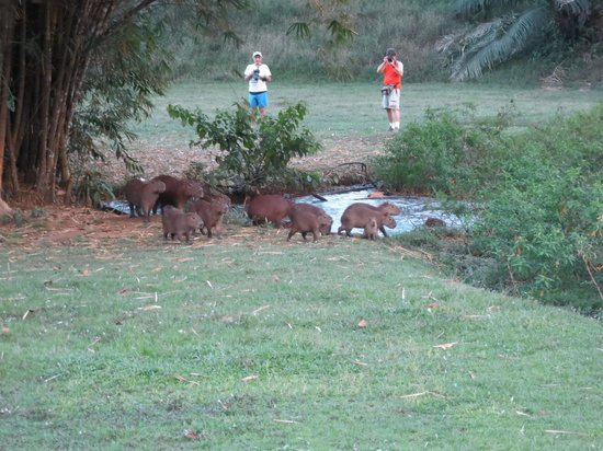 Gamboa Rainforest Resort: Capybaras running away from us.