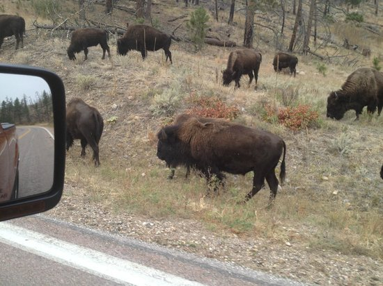 Custer State Park: Buffalo everywhere