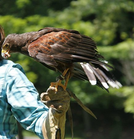 The Greenbrier: My session with Falconry