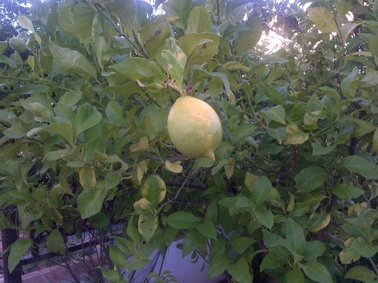 AlmaVerde Village & Spa: Lemon off the tree in 148's garden