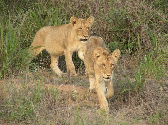Toro Yaka Bush Lodge: 2 six month old lion cubs