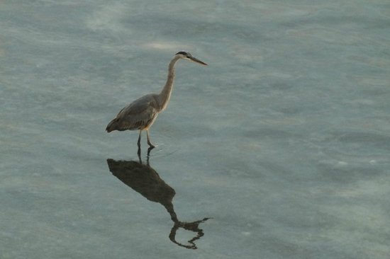 Clearwater Beach Marriott Suites on Sand Key: Wildlife - from the balcony
