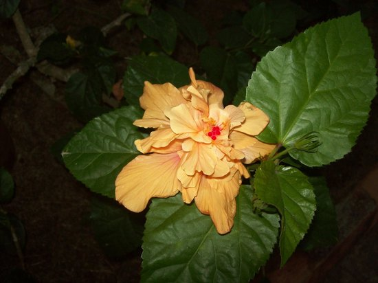 Hidden Paradise Resort Hotel: Love the Hibiscus on H.P. grounds