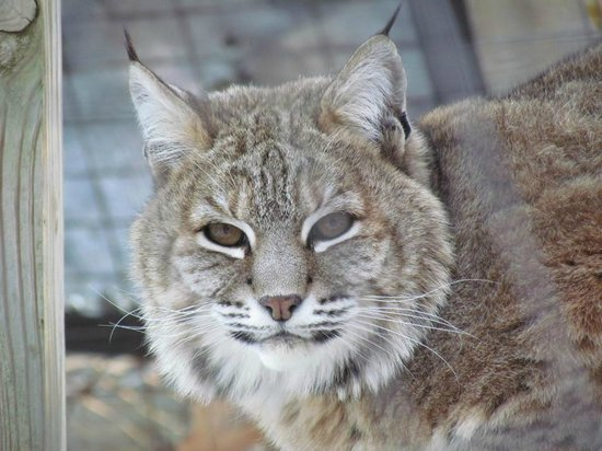bobcat picture of exotic feline rescue center centerpoint