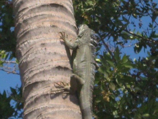 """Casa de La Sirena: Head """"hefe"""" Iguana"""