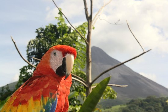 Nayara Resort Spa & Gardens: The parrot who lives in the gardens