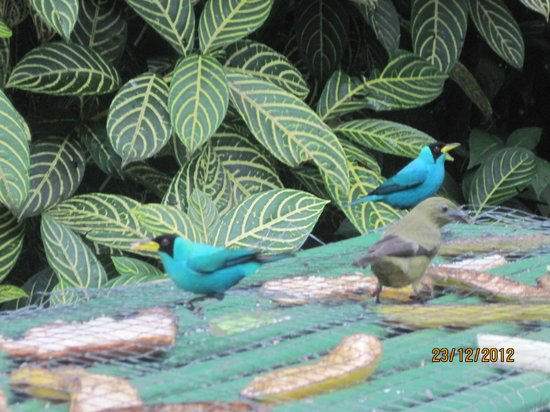Asa Wright Nature Centre: green honeycreepers abound