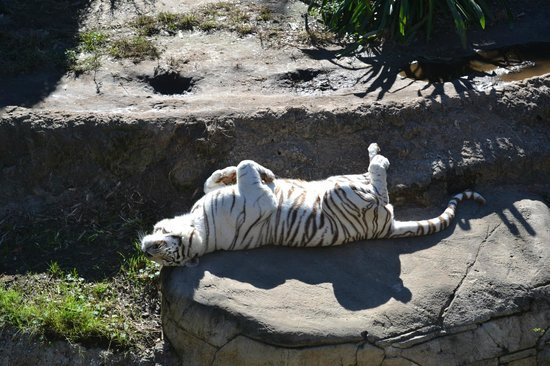 Audubon Zoo: white tiger warming his belly on a cool Jan morning