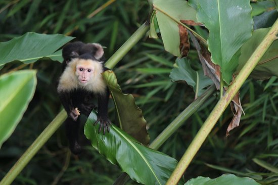 La Mariposa Hotel: View off our terrace of Capuchin monkey with baby on back