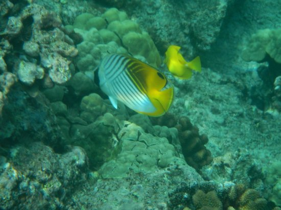 Kealakekua Bay: Raccoon fish
