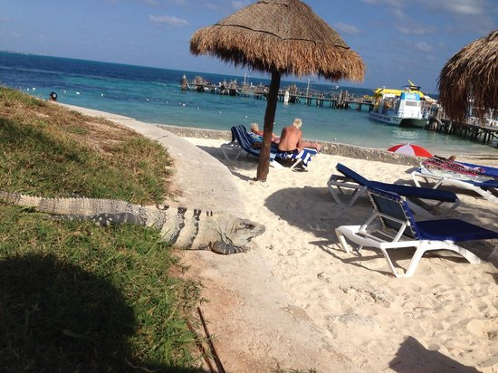 Dos Playas Hotel Cancun: Iguana at the hotel :-)