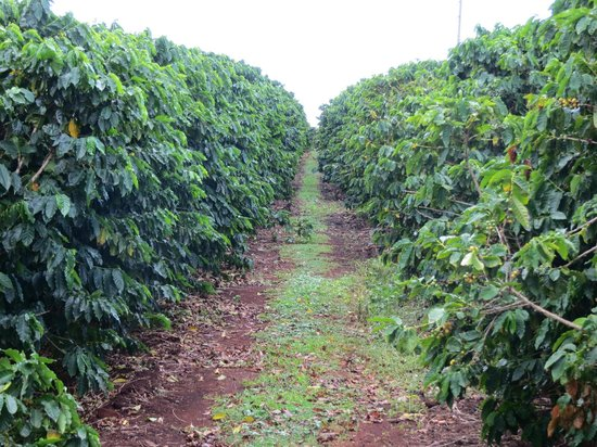 Kauai Coffee Company : Coffee plantation