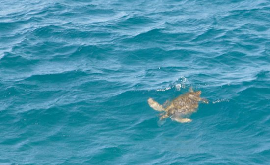 North Gorge Walk: Sea turtle swimming out to the ocean