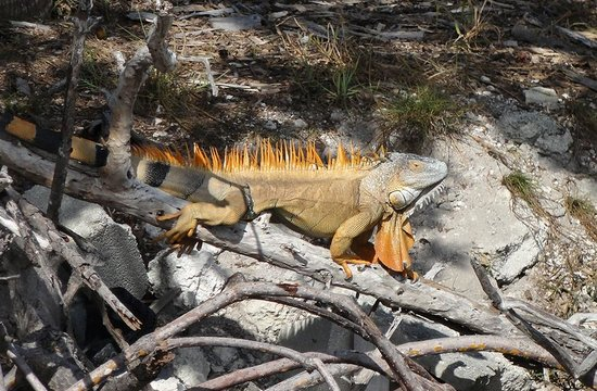 The Wharf Bar & Grill: Old man iguana