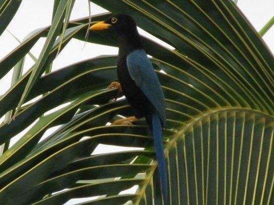 Grand Bahia Principe Coba: Yucatan jay