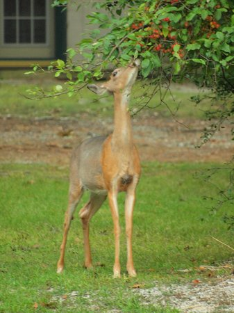 Grand Beach Inn: Deer munching on shrub