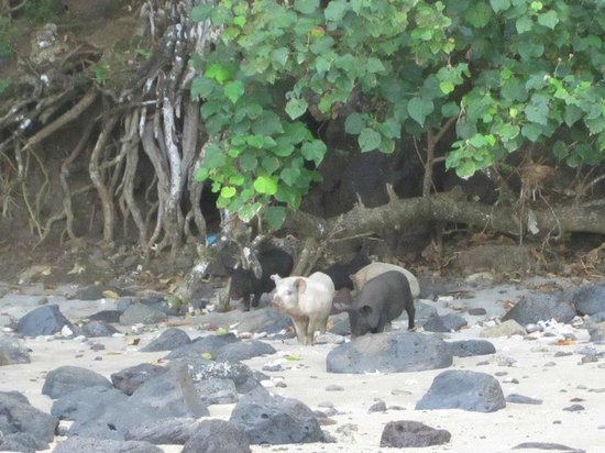 Seabreeze Resort: Pigs ( viewed while out kayaking)