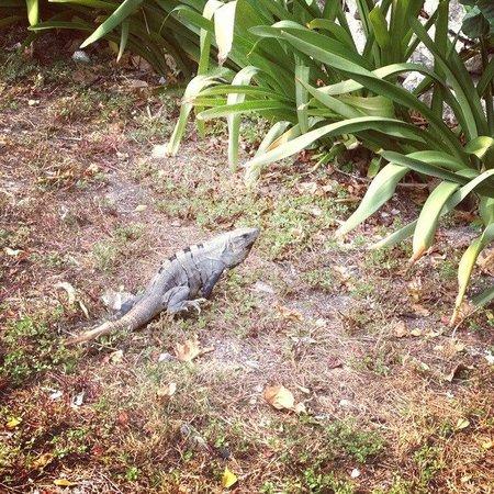 Ocean Spa Hotel: Wild iguana