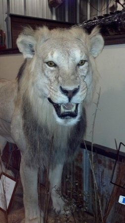 Southern Komfort Kitchen Restaurant & Catering: Face of the almost 5' lion at the check-in desk