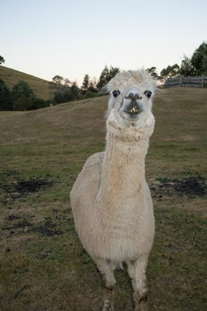 Tin Dragon Trail Cottages: George the alpaca