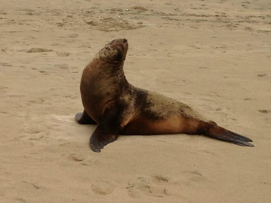 Curio Bay Natural Heritage Centre: NZ Fur Seal at Porpoise Bay