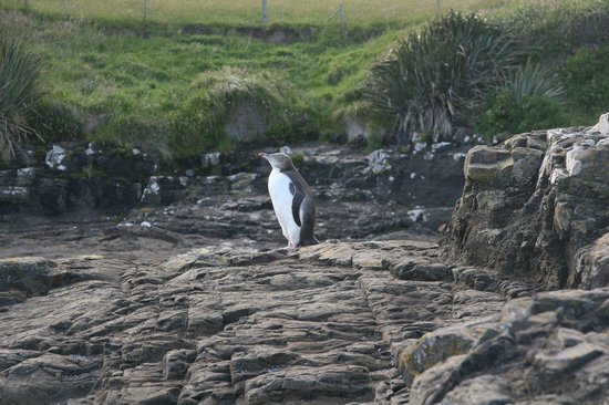 Curio Bay Natural Heritage Centre: A yellow eyed penguin at nearby Curio Bay