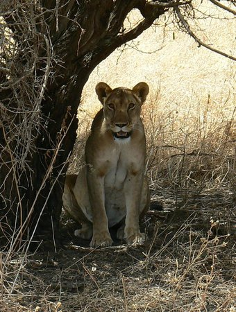 "Manyara Ranch Conservancy: ""Our"" lioness out on the Ranch."