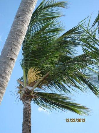 Grand Bahia Principe Bavaro: palm tree 