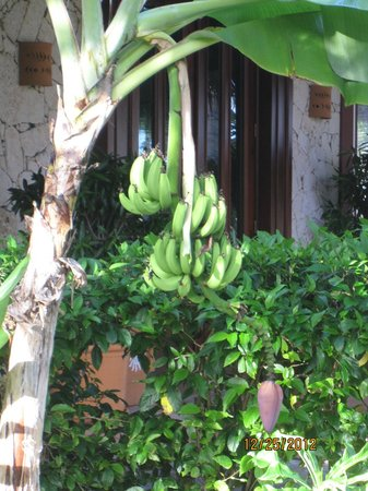 Grand Bahia Principe Bavaro: bananas .. not ready to eat yet !
