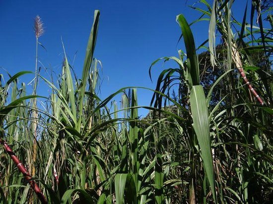 Cabañas Valle Campanas: Sugar cane