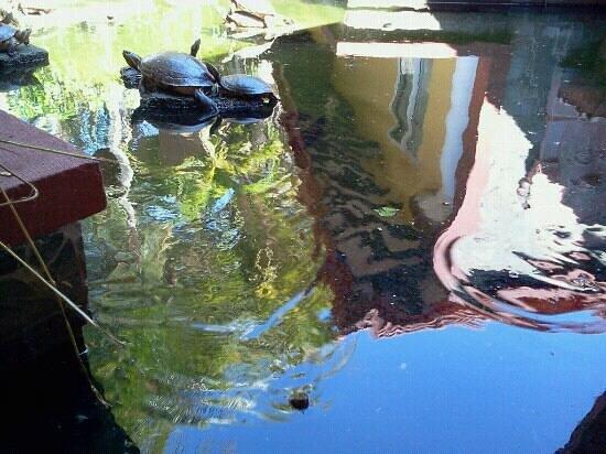 Hotel Las Olas Beach Resort: des tortues du bassin de l'hôtel. Vous risquez d'en voir sur la plage, c'est aussi un site de mo