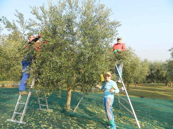 La raccolta delle olive al B&B Corte Preare