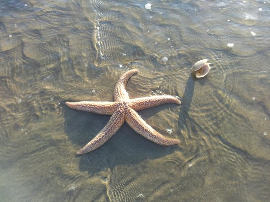 An alive star fish on Pevensey Bay Beach